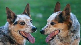 Cani fotografie stock
