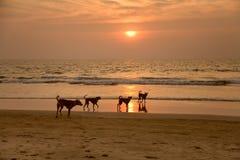 Cani alla spiaggia Fotografia Stock Libera da Diritti