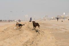 Cani alla spiaggia Immagini Stock Libere da Diritti