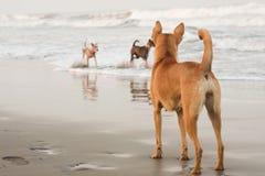 Cani alla spiaggia Fotografie Stock Libere da Diritti