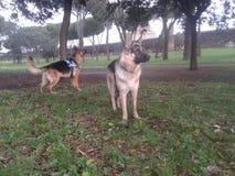 Cani alsaziani in un parco fotografie stock libere da diritti