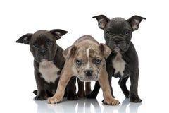3 cani americani dello spaccone che si siedono e che stanno insieme che sono stato aggressivo fotografia stock