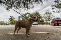 Cani americani felici dello spaccone in primavera fotografie stock libere da diritti