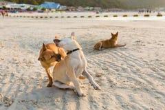 Cani amichevoli su Koh Larn Fotografie Stock Libere da Diritti
