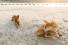 Cani amichevoli su Koh Larn Immagine Stock