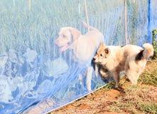 Cani in azienda agricola Fotografia Stock