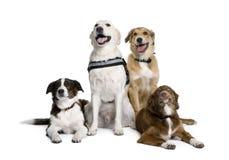 Cani bastardi che si siedono davanti alla priorità bassa bianca Fotografia Stock Libera da Diritti