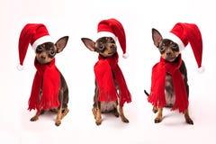 Cani in cappelli di Santa che si siedono su un fondo bianco Fotografie Stock Libere da Diritti