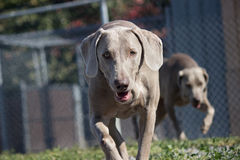 Cani che corrono nella recinzione Immagini Stock