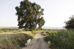 Cani che eseguono campo Fotografie Stock Libere da Diritti