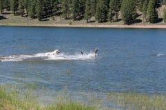 Cani che giocano, bacino idrico dell'insenatura di Prosser fotografie stock libere da diritti