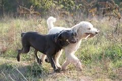 Cani che giocano con il bastone Immagini Stock