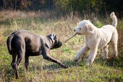 Cani che giocano con il bastone Fotografia Stock Libera da Diritti