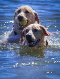 Cani che giocano nel lago Immagini Stock