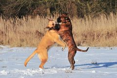 Cani che giocano nella neve Immagine Stock Libera da Diritti