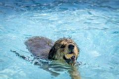 Cani che giocano nella piscina Immagine Stock