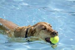 Cani che giocano nella piscina Immagine Stock Libera da Diritti