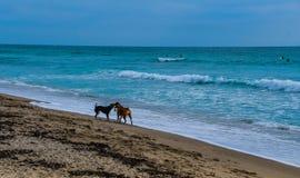 Cani che giocano sulla spiaggia - uomini che giocano sul mare fotografia stock libera da diritti