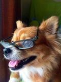 Cani che indossano i vetri Fotografie Stock