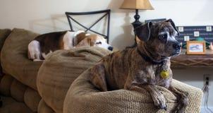Cani che mettono su uno strato immagine stock