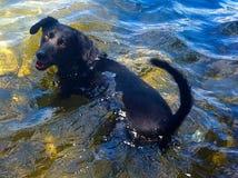 Cani che nuotano Fotografia Stock Libera da Diritti