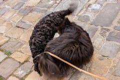 Cani che si odorano Fotografie Stock