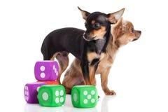 Cani chihuahua e cubi isolati sull'animale domestico e sui giocattoli bianchi del fondo Immagine Stock
