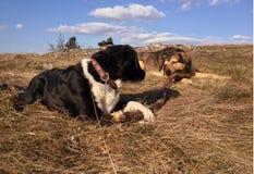 Cani con il ramo Immagini Stock Libere da Diritti