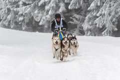 Cani correnti del husky ad una corsa della slitta tirata da cani Immagini Stock Libere da Diritti