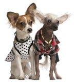 Cani crestati cinesi in su vestiti Fotografia Stock