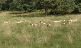 Cani da caccia inglesi del puntatore nell'azione completa Fotografie Stock