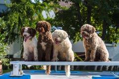 Cani da caccia in palude spagnoli che si siedono insieme Fotografia Stock Libera da Diritti