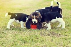 Cani da lepre affamati Fotografie Stock Libere da Diritti