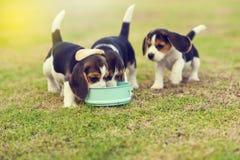 Cani da lepre affamati Immagine Stock