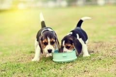 Cani da lepre affamati Fotografia Stock Libera da Diritti