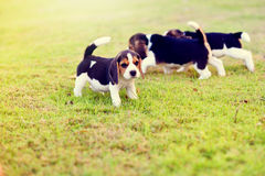 Cani da lepre felici Fotografie Stock