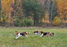 Cani da lepre felici correnti Immagini Stock