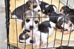 Cani da lepre per vendita Immagini Stock Libere da Diritti