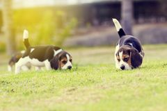 Cani da lepre svegli Fotografie Stock