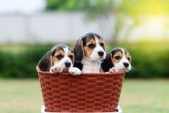 Cani da lepre svegli Immagine Stock