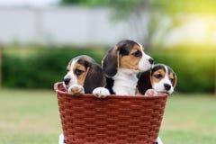 Cani da lepre svegli Immagini Stock