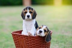 Cani da lepre svegli Fotografia Stock Libera da Diritti