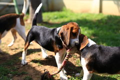 Cani da lepre svegli che giocano nel cortile Fotografie Stock
