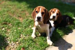 Cani da lepre svegli che giocano nel cortile Immagine Stock Libera da Diritti