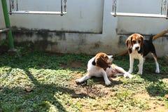 Cani da lepre svegli che giocano nel cortile Fotografie Stock Libere da Diritti