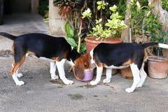 Cani da lepre svegli che giocano nel cortile Fotografia Stock