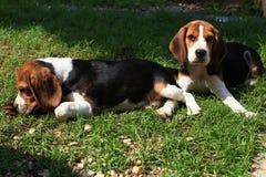 Cani da lepre svegli che giocano nel cortile Immagine Stock