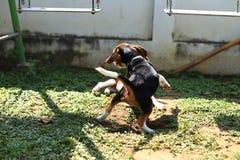 Cani da lepre svegli che giocano nel cortile Immagini Stock Libere da Diritti