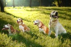 Cani da lepre svegli e labrador retriever Fotografia Stock