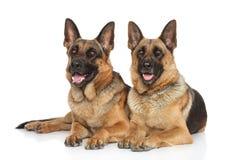 Cani da pastore tedeschi su fondo bianco Fotografia Stock Libera da Diritti